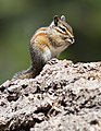 Allen's chipmunk near Lake Almanor-2326.jpg