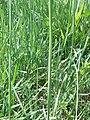 Allium angulosum tige.jpg