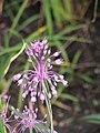 Allium carinatum subsp. pulchellum Czosnek nadobny 2009-07-11 03.jpg