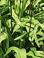 Allium hollandicum 'Purple Sensation' Czosnek 2010-05-15 06.jpg