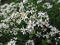 Allium tuberosum, 2021-09-05, Beechview, 01.jpg