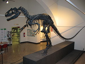 Allosaurus fragilis skeleton in Bergamo 2.jpg
