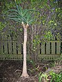 Aloe bainesii Dyer (AM AK303512-1).jpg