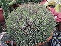Aloe haworthioides (6262225484) (2).jpg