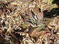 Aloe maculata.jpg