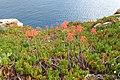 Aloe maculata JPG1.jpg