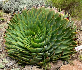 Phyllotaxis - Crisscrossing spirals of Aloe polyphylla