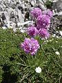 Alpen-Grasnelke (Armeria alpina) - Sextener Dolomiten (9801177385).jpg