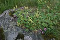 Alpine Lady's Mantle and Wild Thyme - geograph.org.uk - 531356.jpg