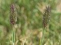 Alpine timothy, Phleum alpinum var. alpinum (26190144307).jpg