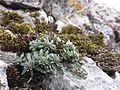 Alyssum montanum subsp. gmelinii sl11.jpg