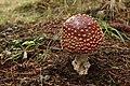 Amanita muscaria (29881581190).jpg