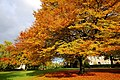 Amazing autumn trees in the Hexham Abbey Garden - panoramio - somaliayaswan.jpg