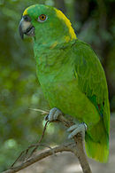 A green parrot with a yellow nape and forehead