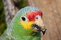 Amazona autumnalis -The Parrot Zoo, Friskney, Lincolnshire, England -upper body-8a.jpg