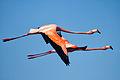 American Flamingo - Flamenco (Phoenicopterus ruber) (11854683776).jpg