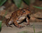 American Toad 8885.jpg