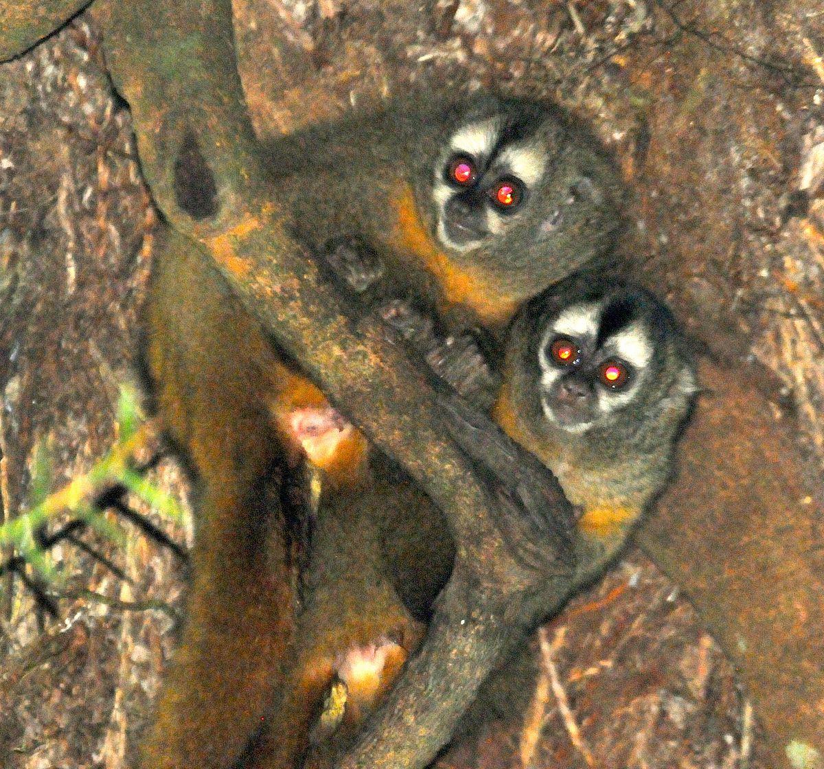 peruvian night monkey wikipedia