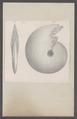 Ammonites spec. - - Print - Iconographia Zoologica - Special Collections University of Amsterdam - UBAINV0274 091 01 0027.tif