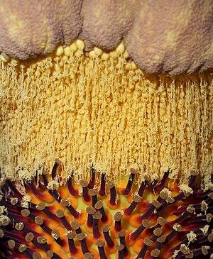 Amorphophallus titanum - The pollen area as seen from the inside (UC Davis, California)