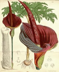Amorphophallus konjac CBM.png