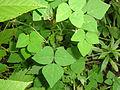 Amphicarpaea bracteata SCA-04696.jpg