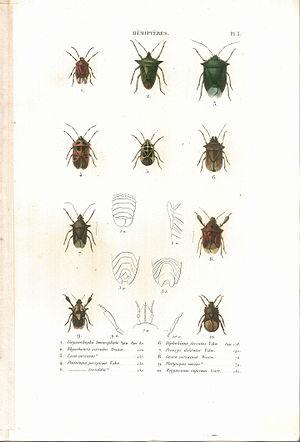 Suites à Buffon - Image: Amyot C.J.B.1843 Histoire naturelle des insectes. Hemipteres. Planche III