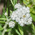 Anaphalis margaritacea in Jardin des 5 sens (2).jpg
