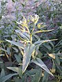 Anchusa arvensis subsp. orientalis sl48.jpg