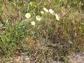 Andryala integrifolia.jpg