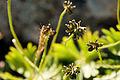 Anemone narcissiflora 25.jpg