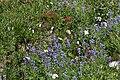Anemone occidentalis 8181.jpg