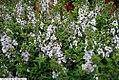 Angelonia AngelMist Lavender Stripe 2zz.jpg