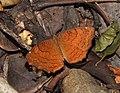 Angled Castor Ariadne ariadne by Dr. Raju Kasambe DSCN5252 (19).jpg