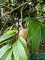 Annona reticulata 8.jpg