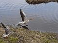 Anser anser -Norfolk, England -two taking off-8.jpg