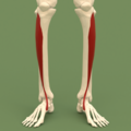Anterior compartment of leg - Tibialis anterior.png