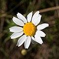 Anthemis arvensis-Anthemis fausse camomille-Fleur-20160417.jpg