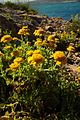 Anthemis chrysantha0411.jpg