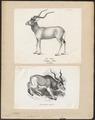 Antilope nasomaculata - 1700-1880 - Print - Iconographia Zoologica - Special Collections University of Amsterdam - UBA01 IZ21400255.tif