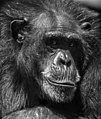 Ape (8587870236).jpg