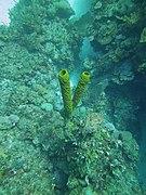 Aplysina fistularis - sponge - Bay of Pigs - Cuba.jpg
