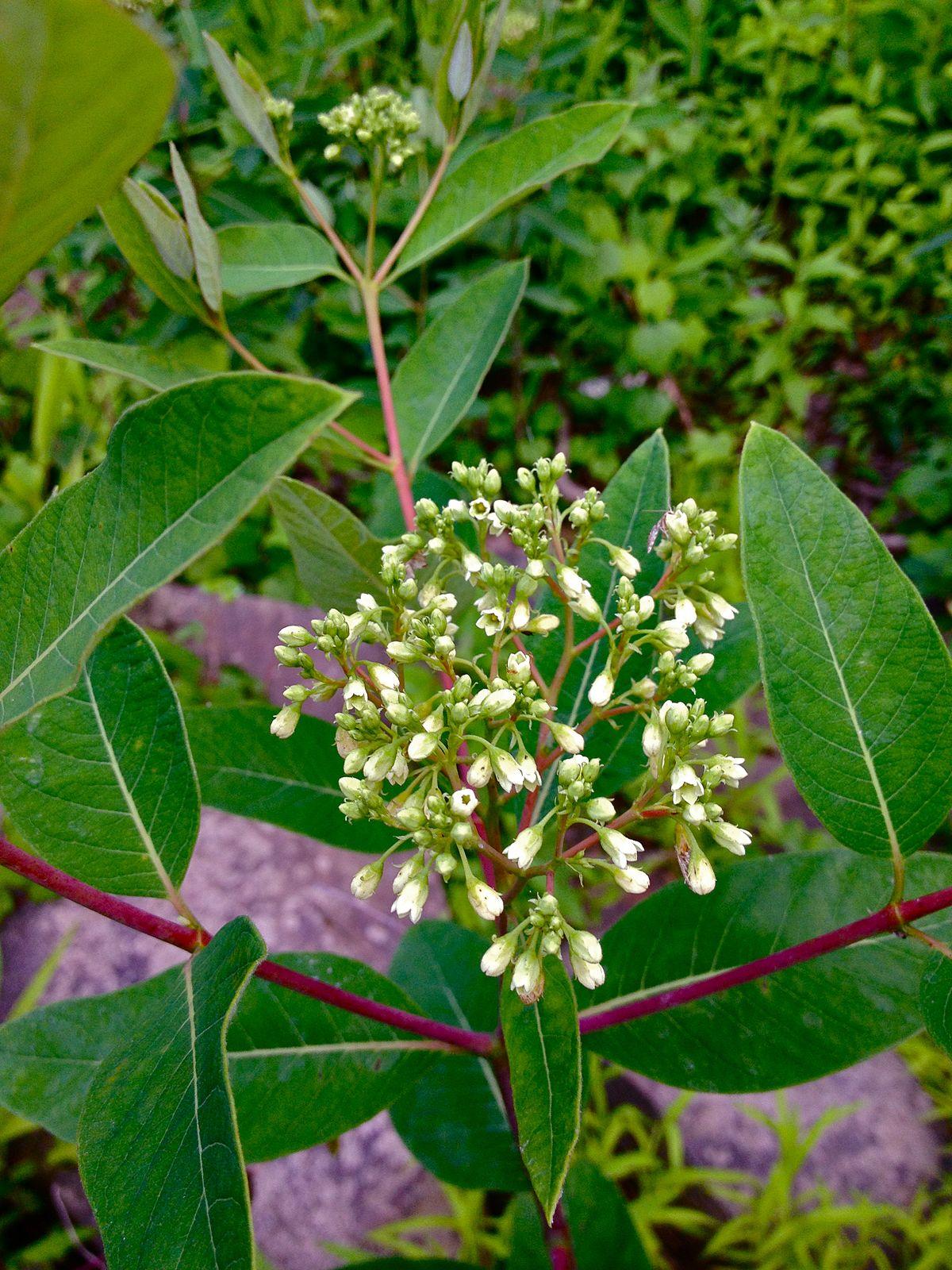 apocynaceae wiktionary