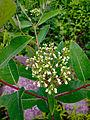Apocynum cannabinum - Indian Hemp.jpg
