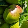 Apple NZ7 0229 (50176553291).jpg