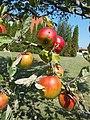 Apples, 2020 Marcali.jpg