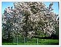 April Magnolia grandiflora Frühling Denzlingen - Master Seasons Rhine Valley 2013 - panoramio (2).jpg