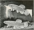 Aquatic life (1916-1917) (19559365560).jpg