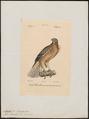 Aquila bonellii - 1842-1848 - Print - Iconographia Zoologica - Special Collections University of Amsterdam - UBA01 IZ18100209.tif