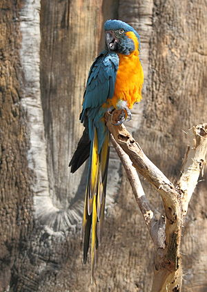 Endangered species - Blue-throated macaw, an endangered species